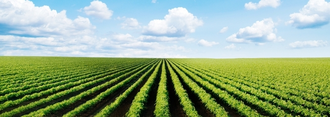 field with rows of cultivated plants in perspective, wide portion of sky
